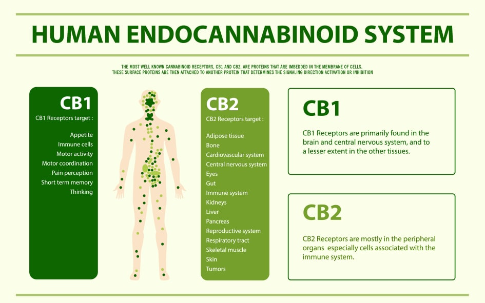 The Human Endocannabinoid System.
