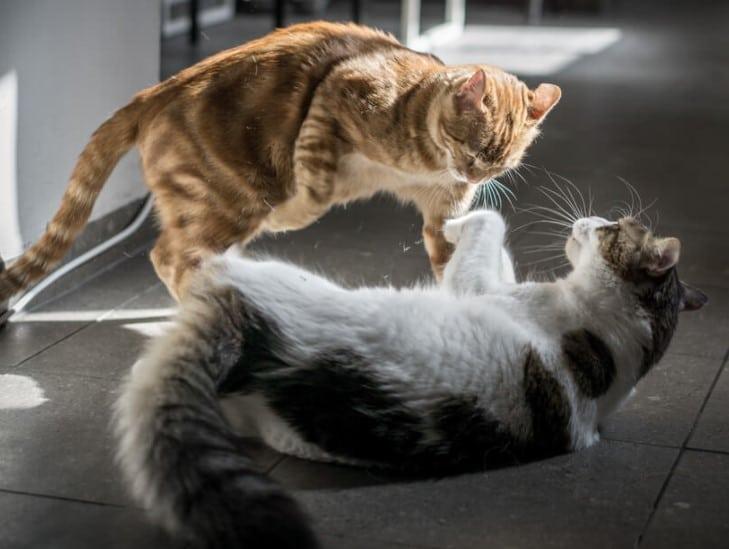 use of cbd oil for aggressive cats